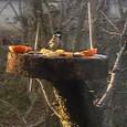 鳥たち シジュウカラ